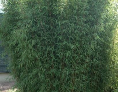 Fargesia sp. 'Jiuzhaigou 1' pot 2 liter