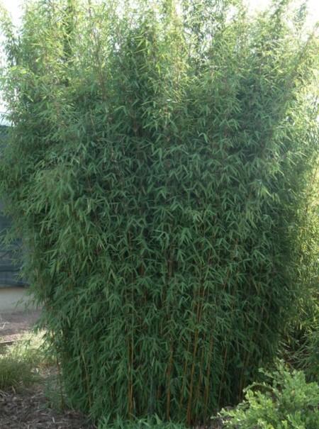 Fargesia sp. 'Jiuzhaigou' - bamboe