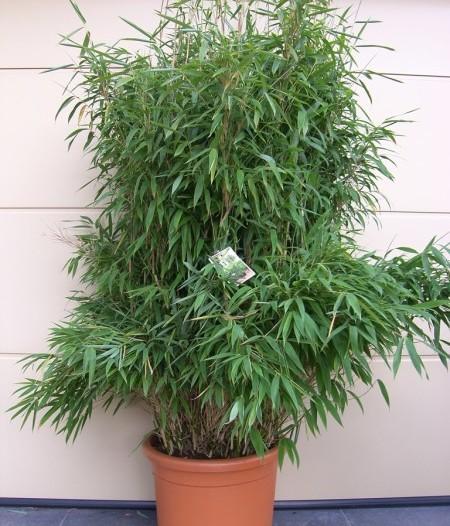 Fargesia murieliae 'Superjumbo' - bamboe