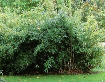 Fargesia nitida 'Greatwall' - bamboe