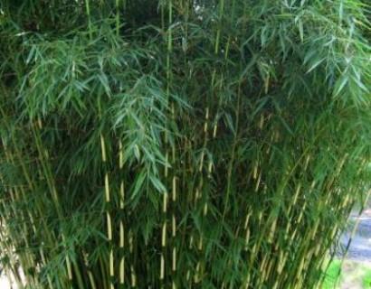 Fargesia robusta 'Pingwu' pot 2 liter - bamboe