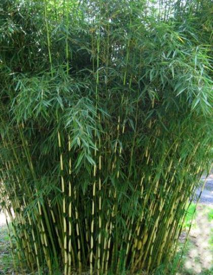 Fargesia robusta 'Pingwu' - bamboe