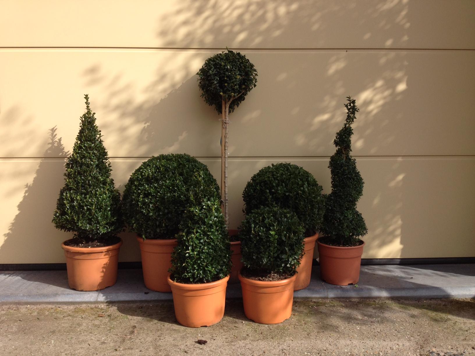 Buxus sempervirens - palm