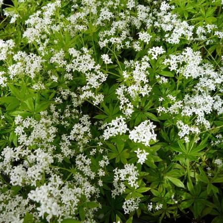 Galium odoratum - onze-lieve-vrouwe-bedstro