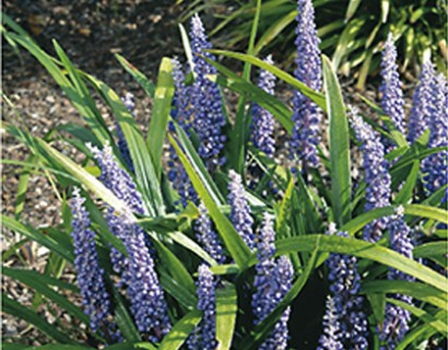 Liriope muscari 'Big Blue' pot 2 liter