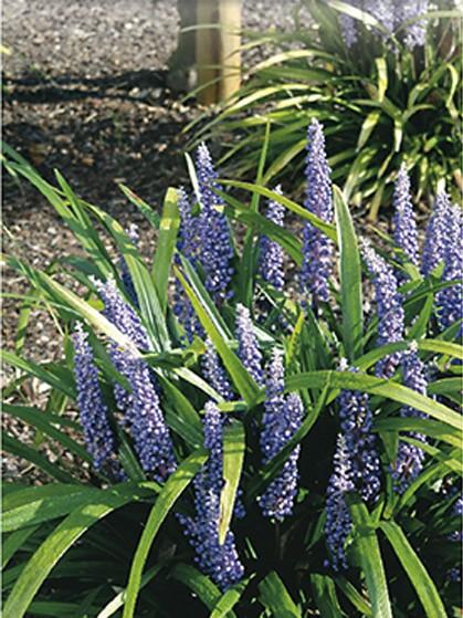 Liriope muscari 'Big Blue' - leliegras