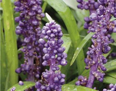 Liriope muscari 'Purple Passion' - leliegras
