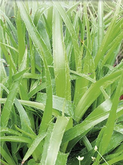 Luzula sylvatica - grote veldbies