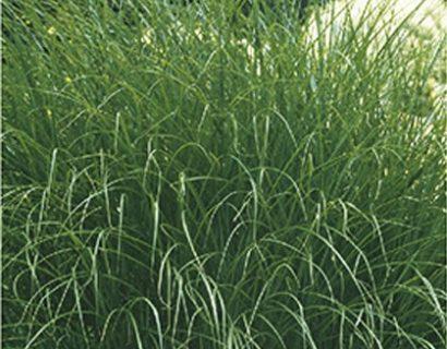 Miscanthus sinensis 'Gracillimus' pot 2 liter - prachtriet