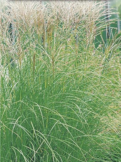Miscanthus sinensis 'Kleine Silberspinne' - prachtriet