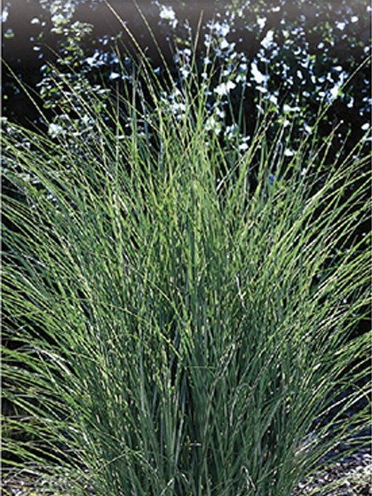 Miscanthus sinensis 'Morning Light' - prachtriet