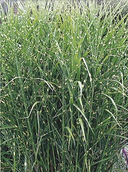 Miscanthus sinensis 'Strictus' - prachtriet