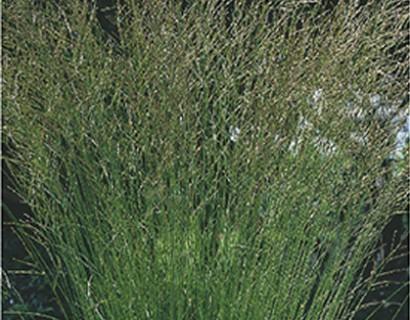 Molinia caerulea 'Heidebraut' pot 2 liter - pijpestrootje