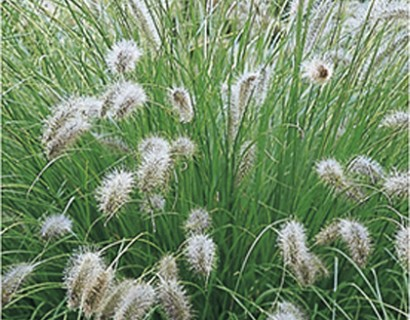 Pennisetum alopecuroides 'Hameln' p9