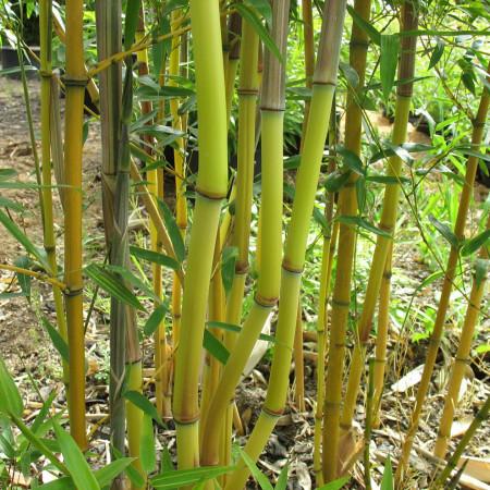 Phyllostachys aureosulcata 'Aureocaulis' - reuzebamboe