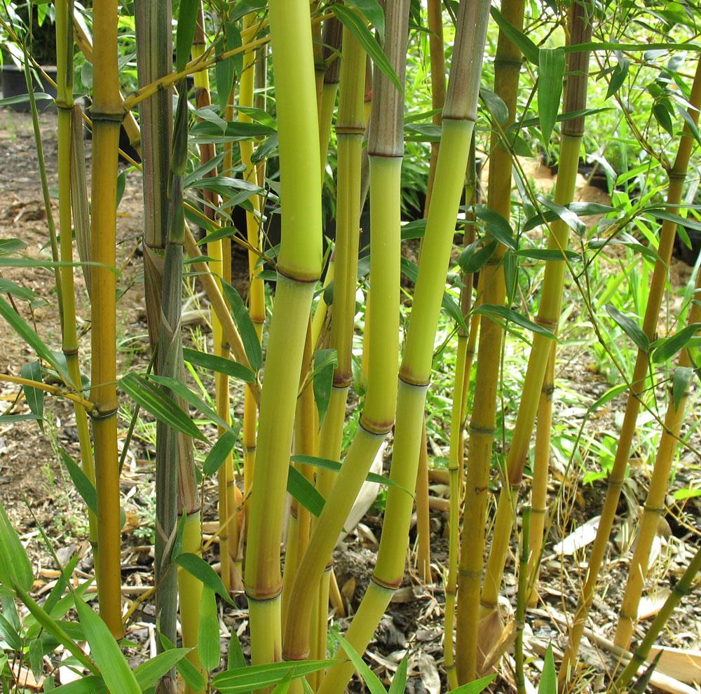 Phyllostachys aureosulcata 39 aureocaulis 39 reuzebamboe for Bamboe plant