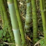Kan ik bamboe snoeien?