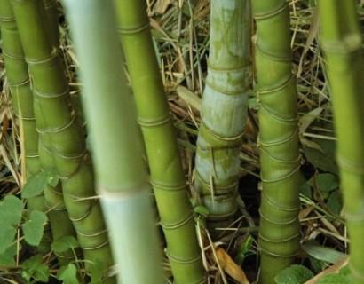 Phyllostachys aurea pot 15 liter - reuzebamboe