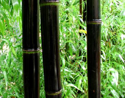 Phyllostachys nigra pot 15 liter - zwarte reuzebamboe
