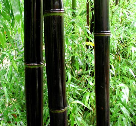 Phyllostachys nigra - zwarte reuzebamboe