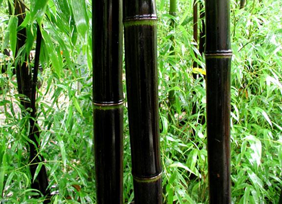 bamboescheuten