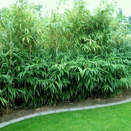 Pseudosasa japonica - breedbladige bamboe