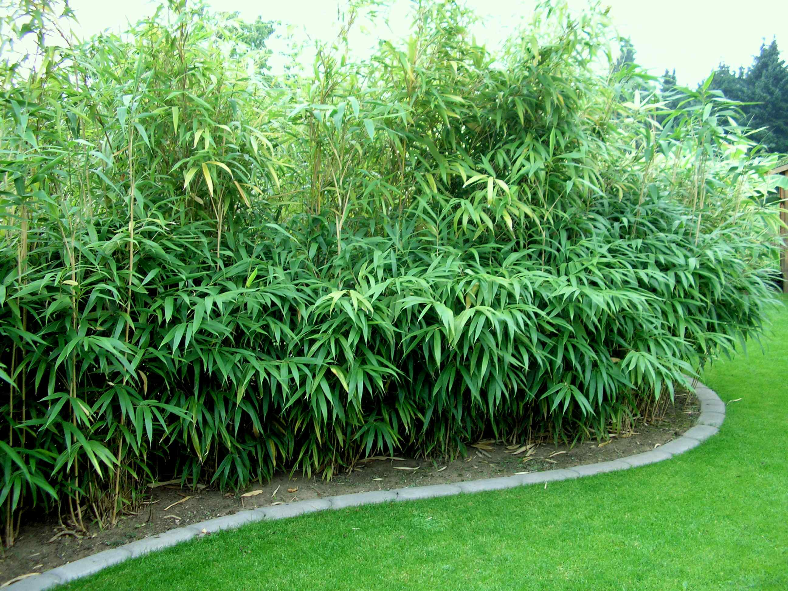 pseudosasa japonica breedbladige bamboe kopen mar chal. Black Bedroom Furniture Sets. Home Design Ideas