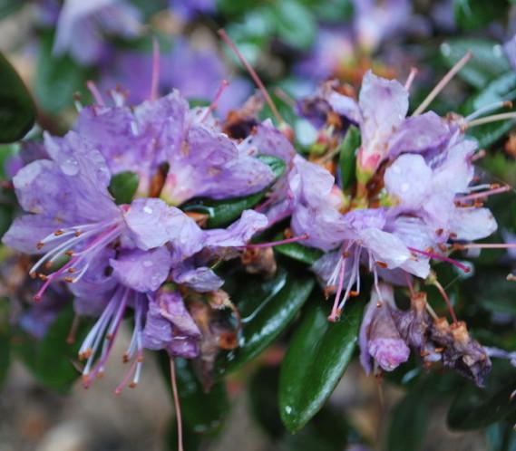 Rhododendron 'Azurika' - dwergrhododendron