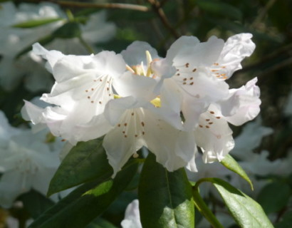Rhododendron 'Dora Amateis' - dwergrhododendron