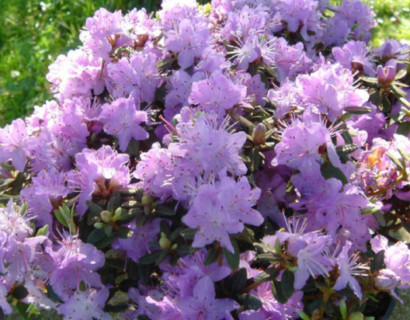 Rhododendron impeditum - dwergrhododendron