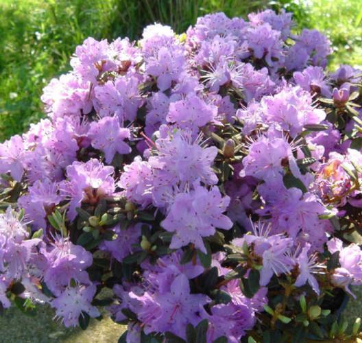Rhododendron impeditum pot 2 liter