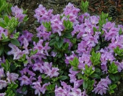 Rhododendron 'Lavandula'