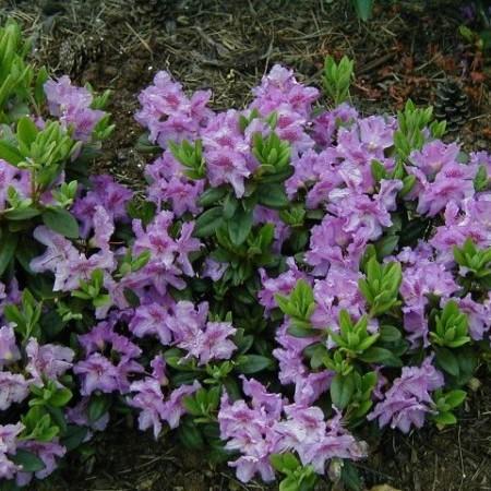 Rhododendron 'Lavandula' - dwergrhododendron