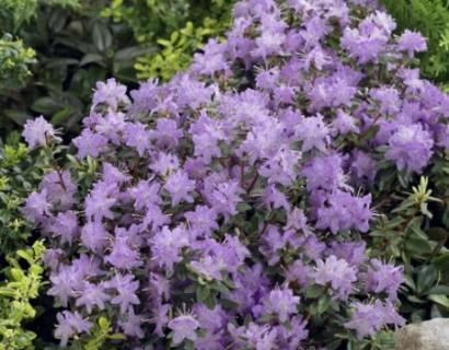 Rhododendron 'Moerheim' - dwergrhododendron