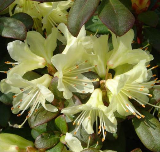 Rhododendron 'Princess Anne' - dwergrhododendron