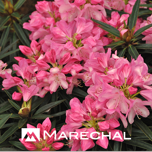 Rhododendron ponticum 'Graziella' - rhododendron