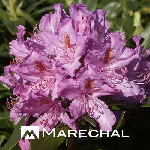 Rhododendron ponticum - wilde rhododendron