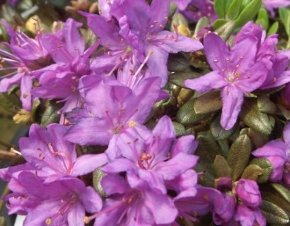 Rhododendron 'Purple Pillow' pot 2 liter - dwergrhododendron