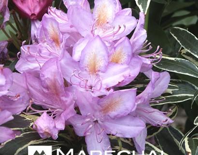 Rhododendron ponticum 'Variegatum' - rhododendron