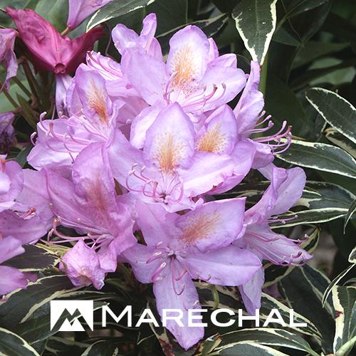 Rhododendron ponticum 'Variegatum' stam - rhododendron
