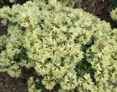 Rhododendron 'Shamrock' - dwergrhododendron