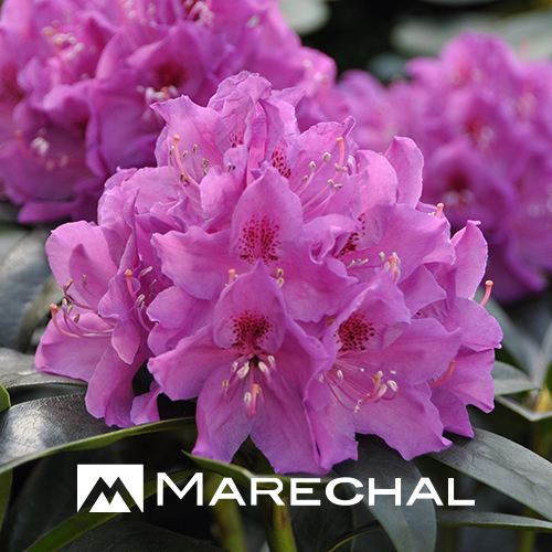 Rhododendron 'Anah Kruschke' - rhododendron
