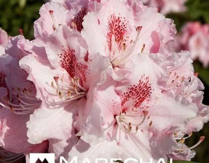Rhododendron 'Albert Schweitzer' - rhododendron