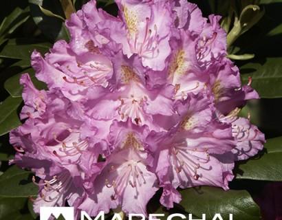 Rhododendron 'Catawbiense Grandiflorum' - rhododendron