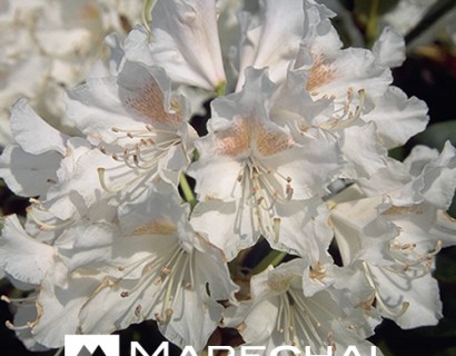Rhododendron 'Cunningham's White' - rhododendron
