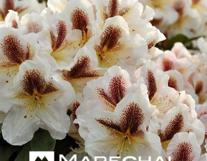 Rhododendron 'Extraordinaire' - rhododendron