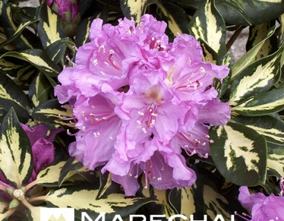 Rhododendron 'Goldfinger'