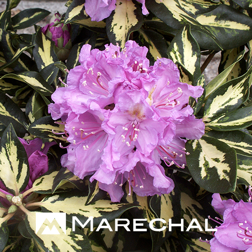 Rhododendron 'Goldfinger' - rhododendron