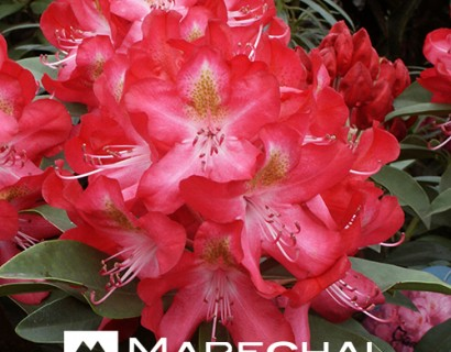 Rhododendron 'Junifeuer'