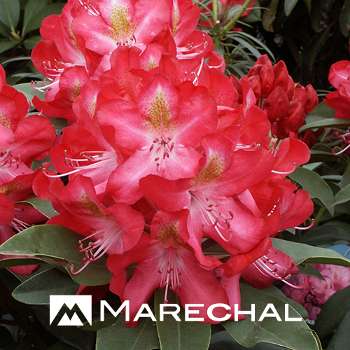 Rhododendron 'Junifeuer' - rhododendron